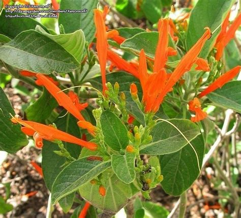 Garden And Gun Honeysuckle Sorbet Plantfiles Pictures Firecracker Plant Mexican