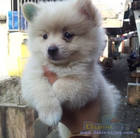 Jual Jual Puppies Minipom Kaskus dunia anjing jual anjing pomeranian big sale minipom