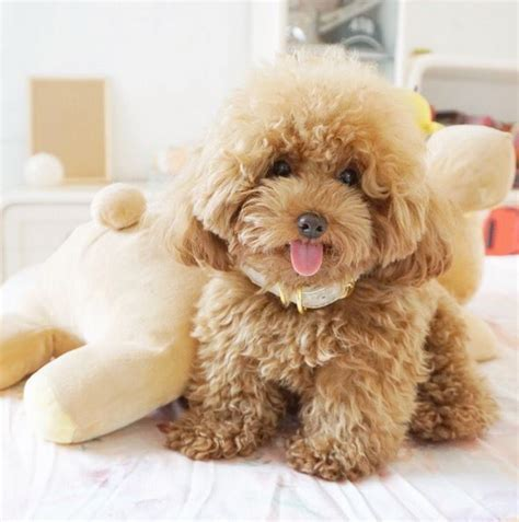 ginger doodle meet ginger doodle the toy poodle who is cuter than you