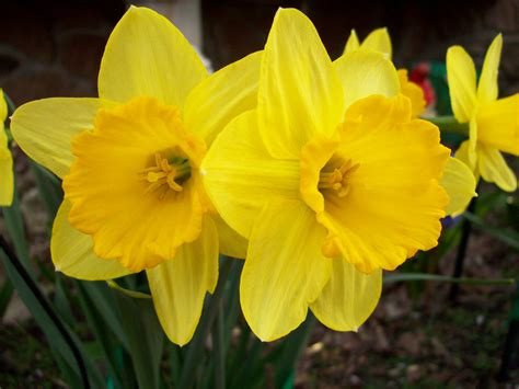 daffodil yellow file yellow flower jpg wikipedia the free encyclopedia imgstocks com