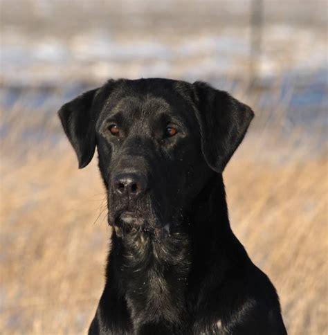 golden retriever pedigree database labrador retriever pedigree database design bild