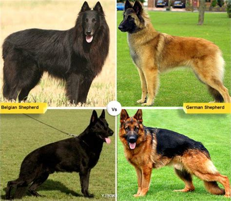dogs like german shepherd 11 breeds like the german shepherd pethelpful