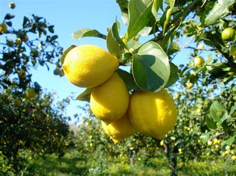 concimi per limoni in vaso cedro concimi e fertilizzanti per coltivare gli agrumi