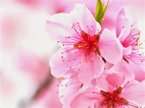 wallpaper bunga for pc gambar wallpaper bunga sakura jepang cantik caption