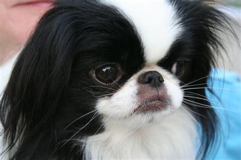 japanese puppy japanese chin all small dogs photo 14461070 fanpop
