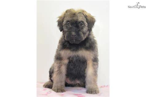 bouvier des flandres puppies for sale bouvier des flandres puppy for sale near southeast missouri missouri 3b7578ea 8011