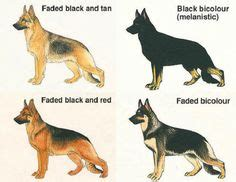german shepherd color chart 1000 images about german shepherd colors on