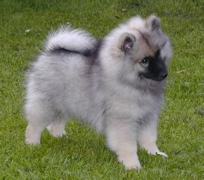 keeshond puppy puppies home pictures