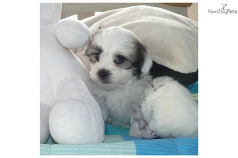 shih tzu bichon mix temperament teddy shih tzu bichon mix info temperament puppies pictures breeds picture