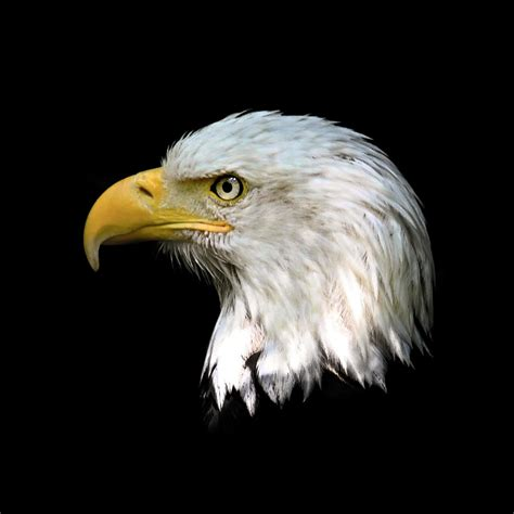 Bald Eagle Head Close Up Photograph by Steve McKinzie