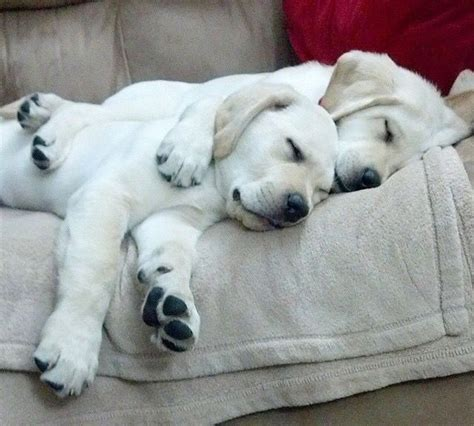 puppies cuddling 17 best images about puppies pets etc on lab puppies chocolate