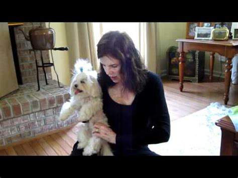 yorkie hip dislocation mpl in dogs medial patellar luxation funnydog tv