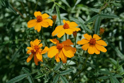 tree marigolds tough beautiful and pest repellent by penny woodward