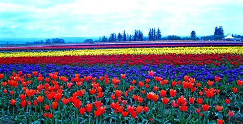 wooden shoe tulip farm by margaret hood