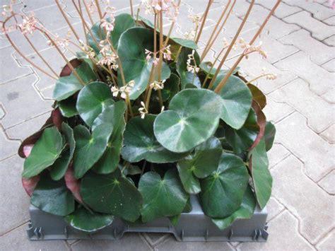 begonia erythrophylla quot beefsteak quot florist s plantica
