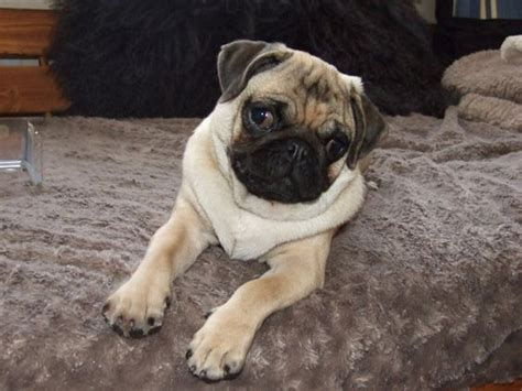 teacup pugs for sale cheap 25 best ideas about teacup pugs for sale on baby pugs for sale pugs for