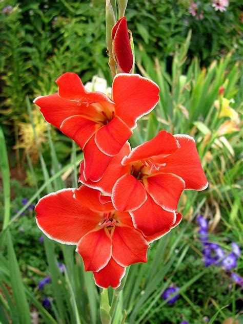 Gladiolus Plant Care And Collection Of Varieties Garden Org Flower Garden Plants