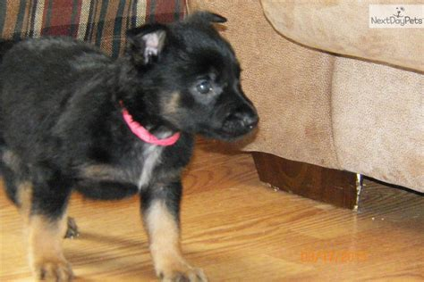 puppies for sale in peoria il belgian malinois puppy for sale near peoria illinois cac2fe79 7071