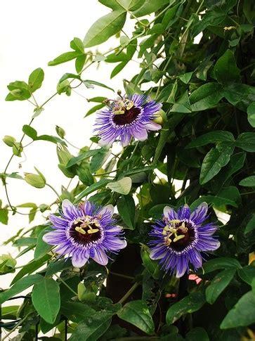 passiflora coltivazione in vaso la coltivazione della passiflora specie di passiflora e
