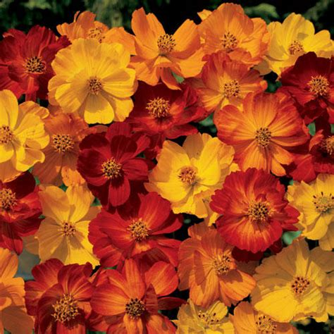 Benih Bunga Cosmos Bright Lights Mix Orange And Yellow Flower 1 annuals cosmos seeds bright lights mix 500 cosmos seeds was sold for r19 00 on 6 jan at 15