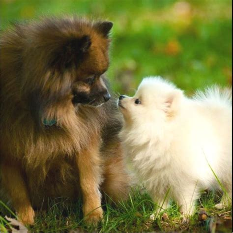 best brush for pomeranian my pomeranians mojo pets the so and brushes