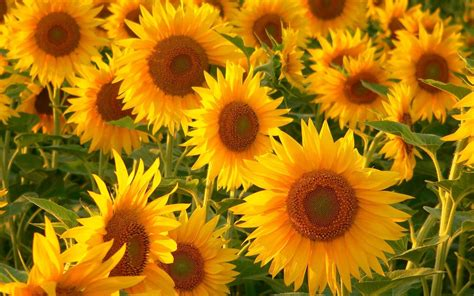 sunflower wallpaper high resolution long wallpapers