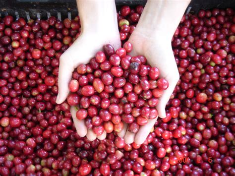 Coffee Berry Extract: There?s more to coffee than just the