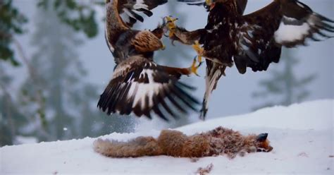 planet earth ii   dramatic moment eagles engage