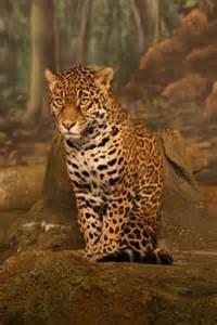 Jaguar Span Jaguar The Animal Files