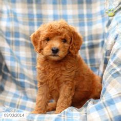 goldendoodle central pa mini goldendoodle puppies for sale los angeles ca caroldoey