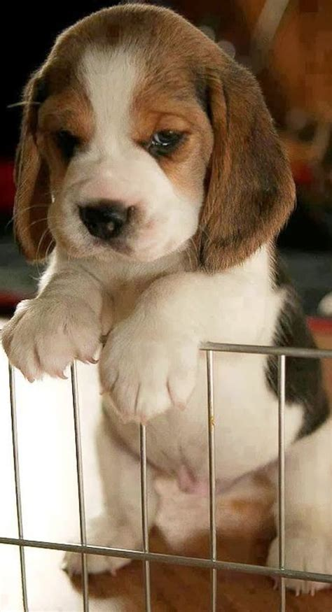 beagle basset hound puppies basset hound puppy beagle pics of cats dogs and other things