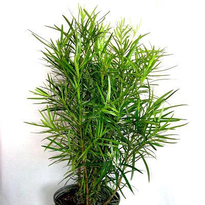 buy podocarpus macrophyllus buddhist pine fern pine plant   nursery