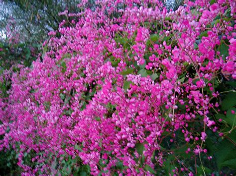 flowering vine photo s flower and landscape photos in southeast arizona