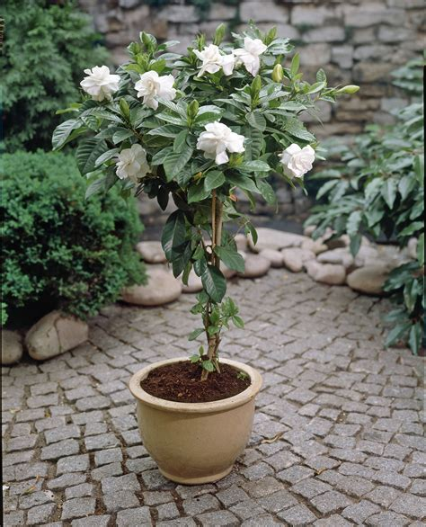 patio tree patio plant trends what s brighter blooms nursery