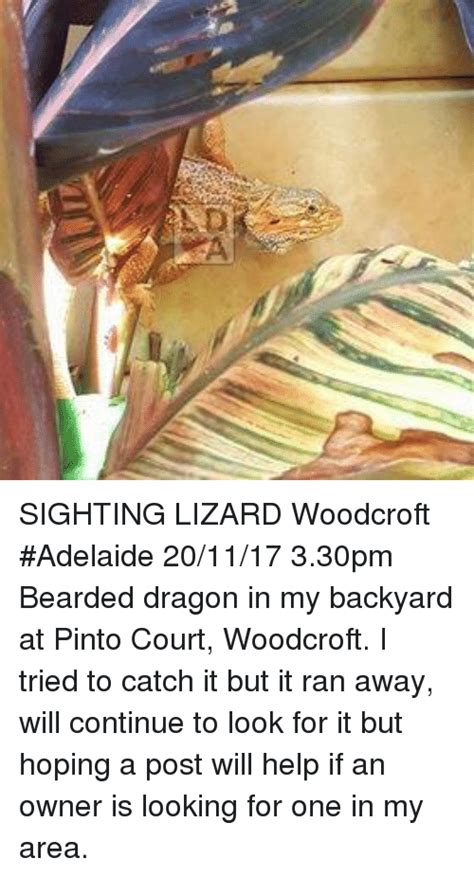 how to catch a lizard in your backyard sighting lizard woodcroft adelaide 201117 330pm bearded