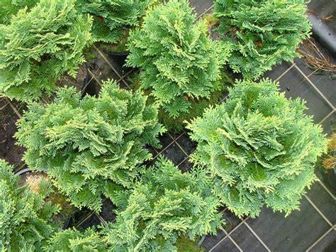Arbuste De Haie 1207 by Chamaecyparis Lawsoniana Minima Glauca Cypr 232 S De Lawson