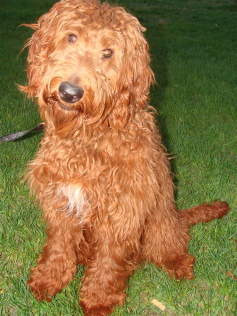 irish setter golden doodle puppies irish doodle goldendoodle puppies for sale