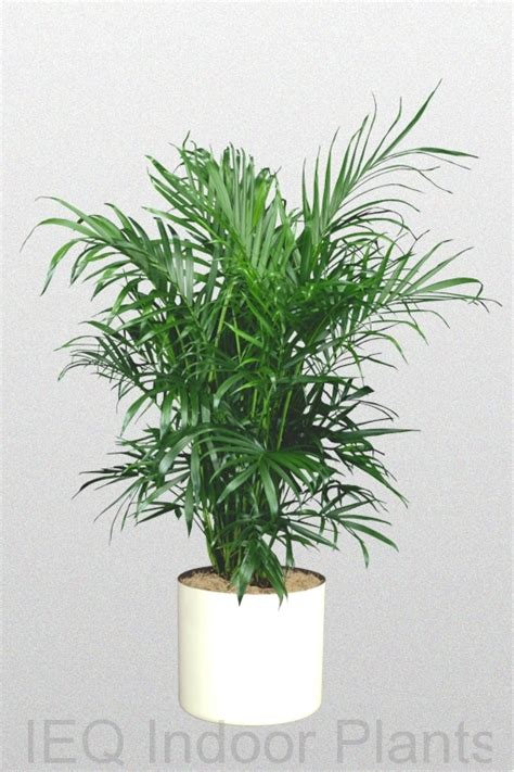 best indoor plants low light bamboo palm indoor plant www pixshark com images