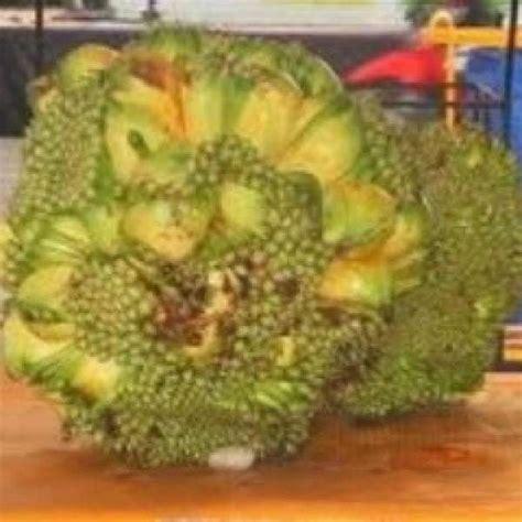 Bibit Markisa Unggul jual bibit unggul tanaman nangka tanpa kulit bibit