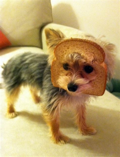 how much are yorkies worth 25 best ideas about bread on amish bread recipes bread baking and