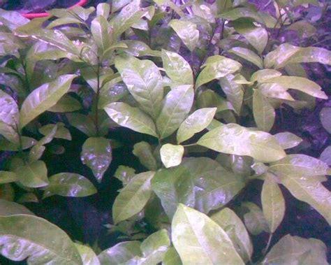 Bibit Minyak Cendana cv mitra bibit cara budidaya tanaman cendana