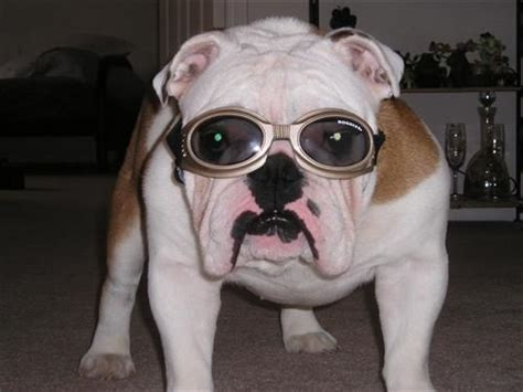 doggles for pugs doggles picture pugs bullies and bostons pictures