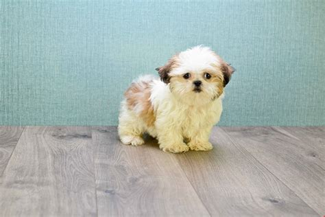 how much does a teacup shih tzu cost shih tzu puppy
