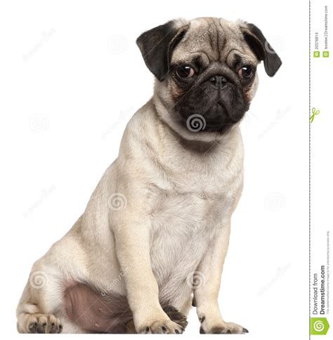 3 month pug puppy pug puppy 3 months sitting stock images image 20376814
