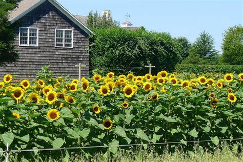 Sun Flower Garden Htonsgarden Sunflower Sunday