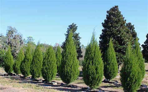 cedar trees eastern cedar juniperus virginiana tn nursery