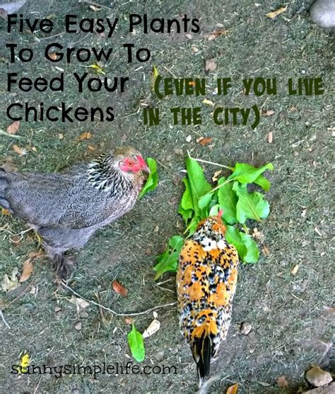 backyard poultry magazine plants easy and coops