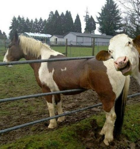 Still A Cow by Lame Gets Photobombed By Awesome Cow Starcasm Net