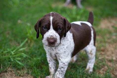 german haired pointer puppies german shorthair pointers puppies