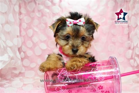 top 10 cutest yorkies adorable puppies yorkie www pixshark images galleries with a bite
